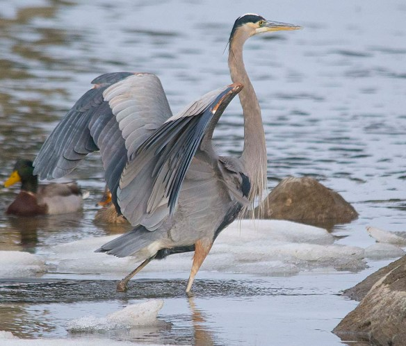 Great Blue Heron 2018-2