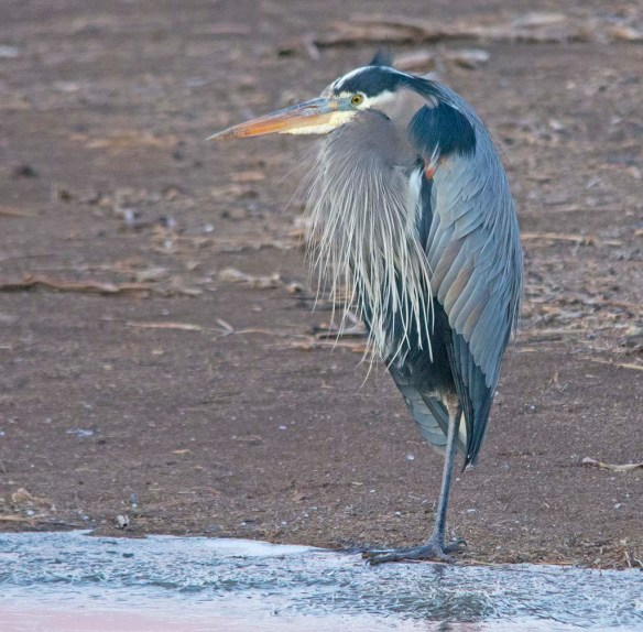 Great Blue Heron 2018-6