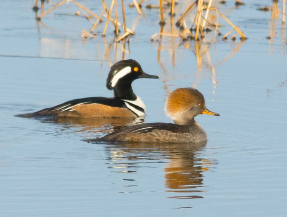 Hooded Merganser 2018-18