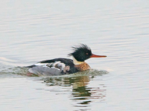 Red Breasted Merganser 2018-8