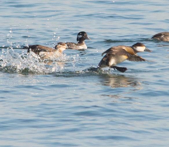 Ruddy Duck 2018-7