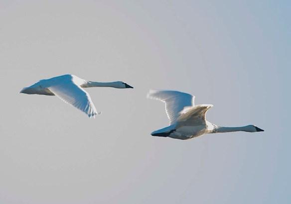 Tundra Swan 2018-1