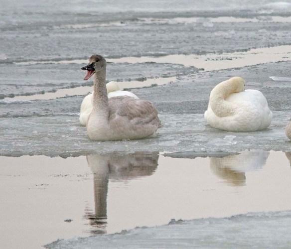 Tundra Swan 2018-5