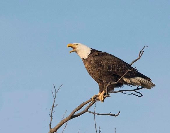 Bald Eagle 2018-16