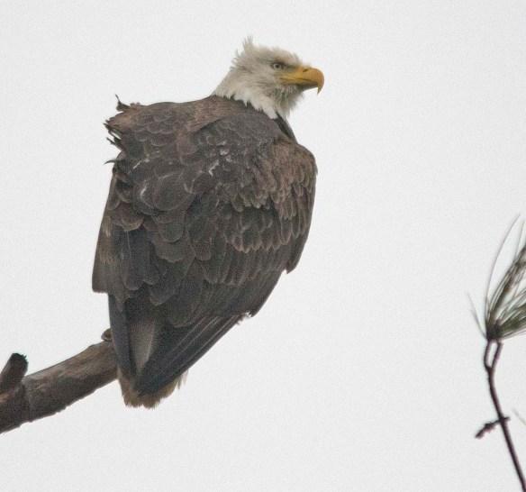 Bald Eagle 2018-23