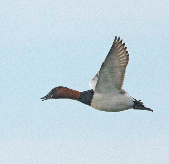 Canvasback 2018-18