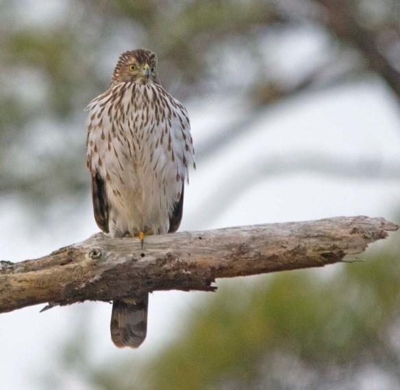Cooper's Hawk 2018-1