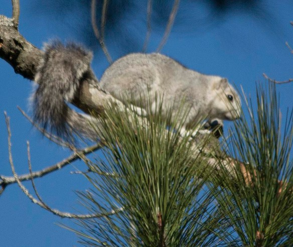 Delmarva Fox Squirrel 29