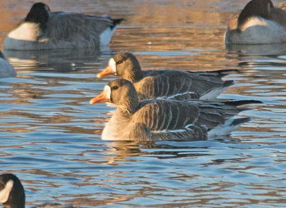 Greater While-fronted Goose 2018-1