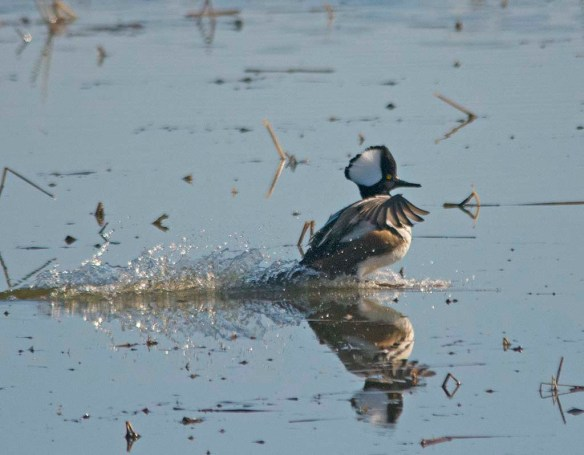 Hooded Merganser 2018-21