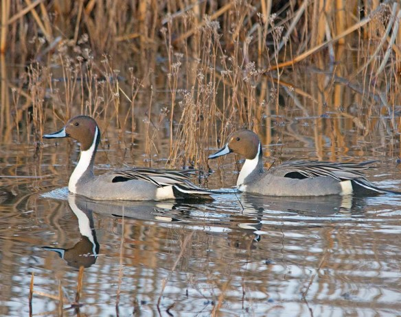 Northern Pintail 2018-3