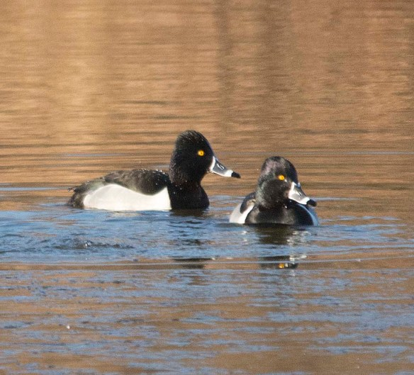 Ring Necked Duck 2018-2