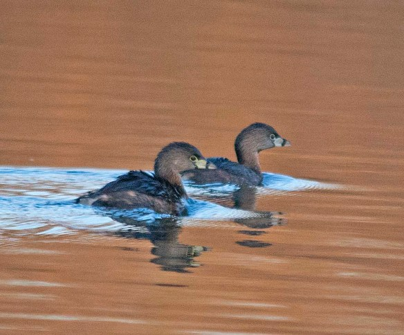 Pied Billed Grebe 2018-2