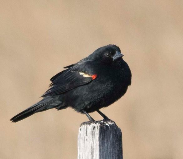 Red Winged Blackbird 2018-4
