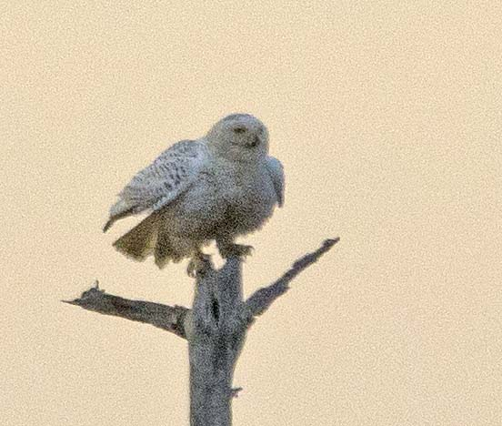 Snowy Owl 2018-2