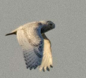 Snowy Owl 2018-3