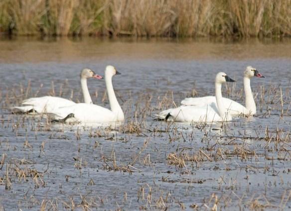 Tundra Swan 2018-23