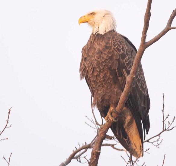 Bald Eagle 2018-29