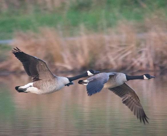 Canada Goose 2018-10