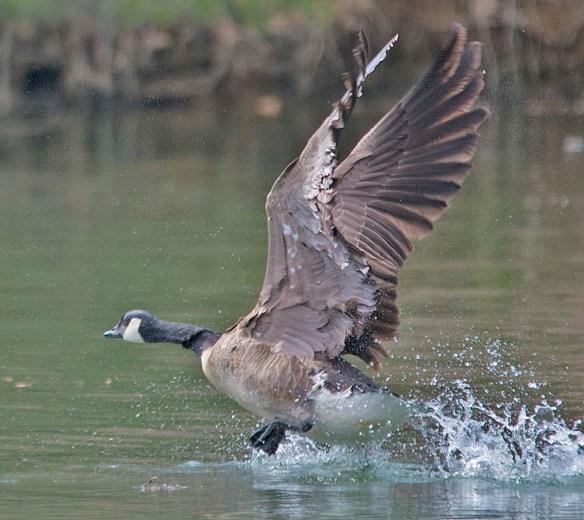 Canada Goose 2018-9