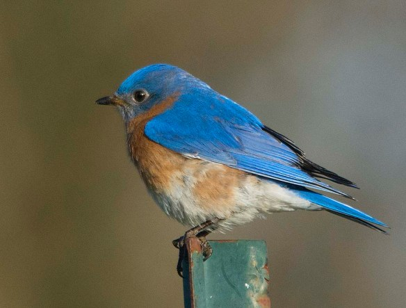 Eastern Bluebird 2018-4