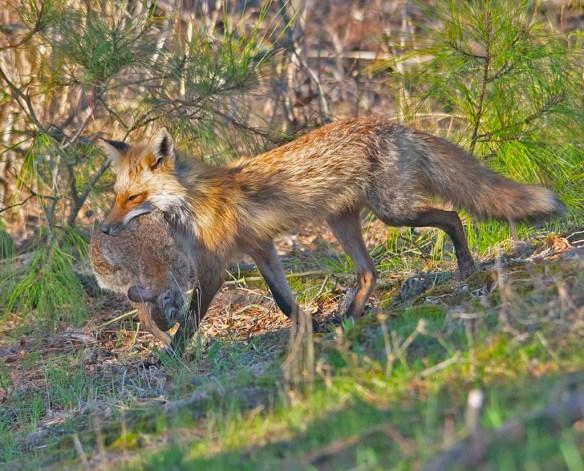 Fox 91