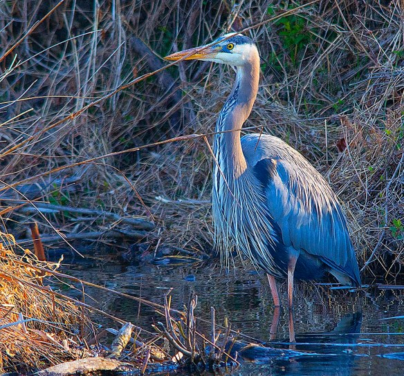 Great Blue Heron 2018-17
