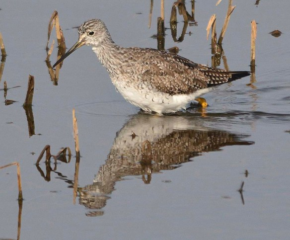 Greater Yellowlegs 2018-2