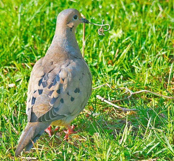 Mourning Dove 2018-2