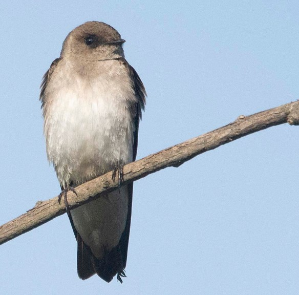 Northern Rough Winged Swallow 2018-4