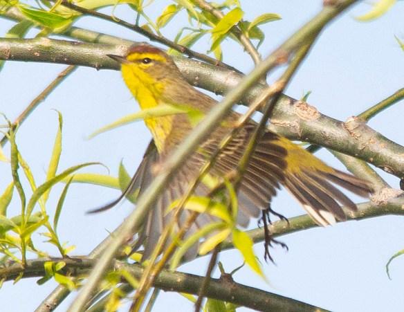 Palm Warbler 2018-5