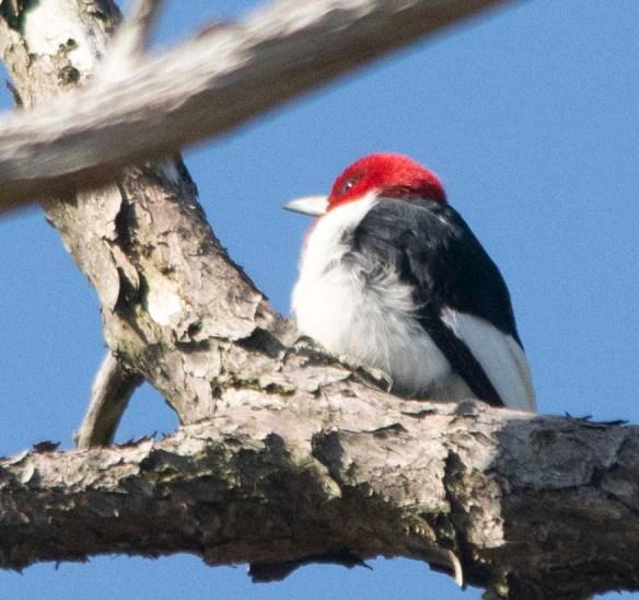 Red Headed Woodpecker 2018-3