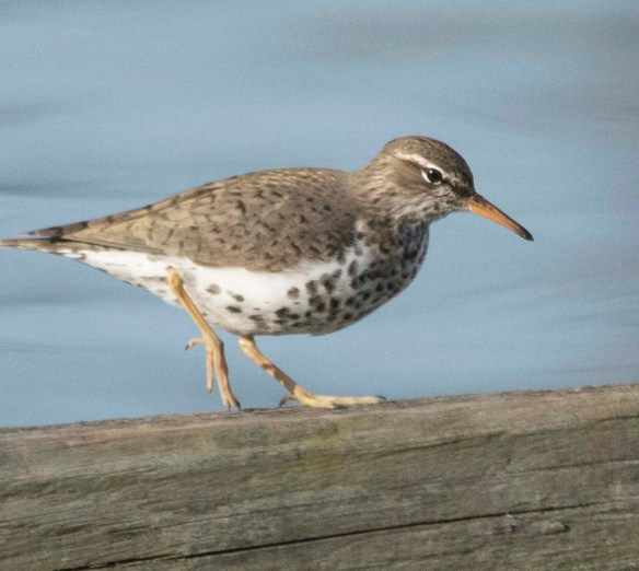 Spotted Sandpiper 2018-4