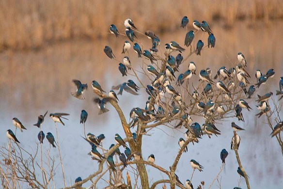 Tree Swallow 2018-10