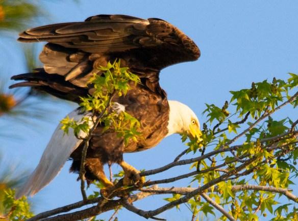 Bald Eagle 2018-32