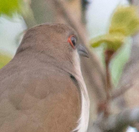Black Billed Cuckoo 2018-2