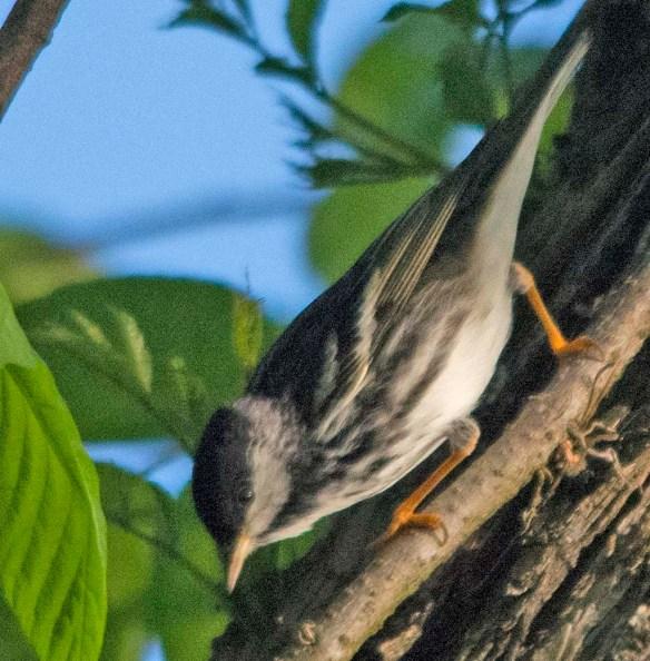 Blackpoll Warbler 2018-1