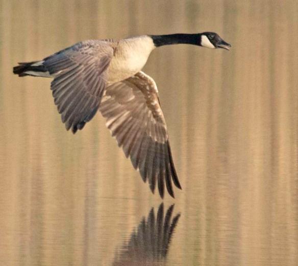 Canada Goose 2018-20