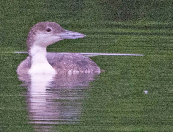 Common Loon 2018-4