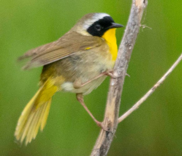 Common Yellowthroat 2018-2