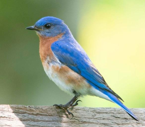 Eastern Bluebird 2018-8