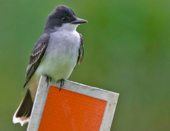 Eastern Kingbird 2018-3
