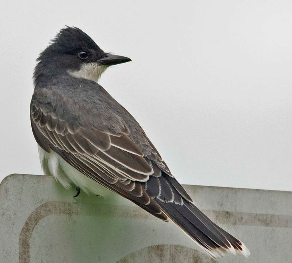 Eastern Kingbird 2018-4