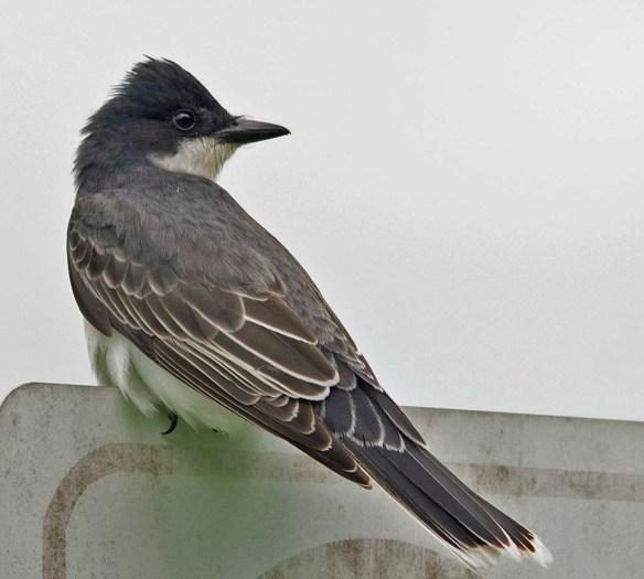 Eastern Kingbird 2018-4