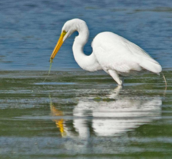 Great Egret 2018-10