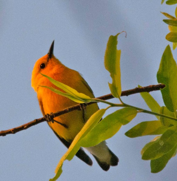 Prothonotary Warbler 2018-2