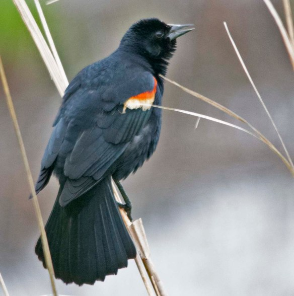 Red Winged Blackbird 2018-11