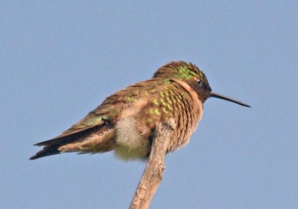 Ruby Throated Hummingbird 2018-1