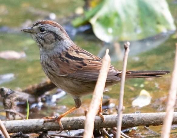 Swamp Sparrow 2018-1