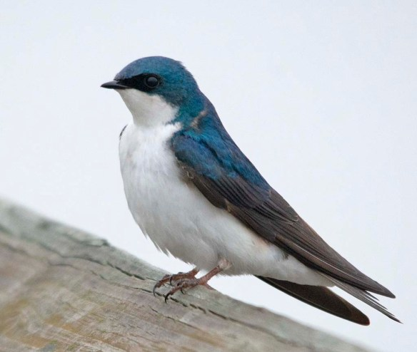 Tree Swallow 2018-22